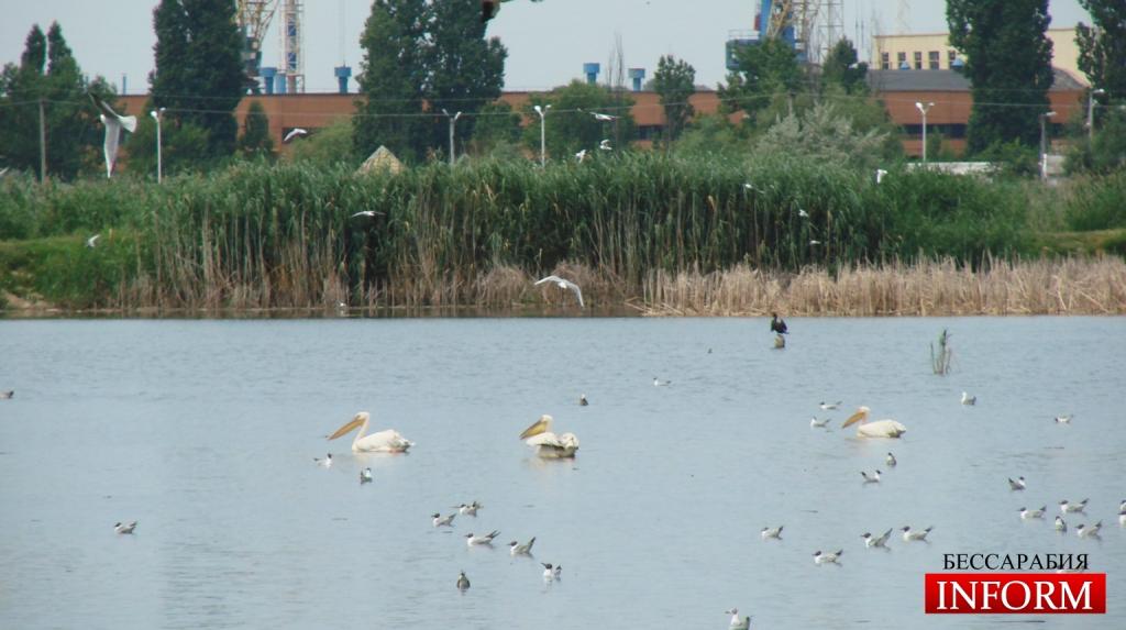 Измаил: выживут ли пеликаны на отравленном озере?
