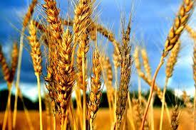 Одесская область - рекордсмен по урожаю зерновых культур