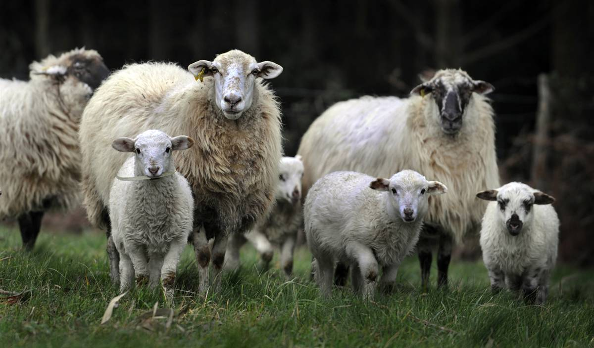 В Арцизском районе пастух украл овец на 9 тыс.гривен.