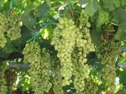 Арцизский р-н: о кадастре виноградников.