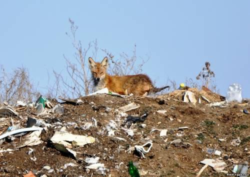 лиса В Одесской области волки,лисы и змеи прижились среди людей.