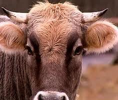 """В Килийском р-не задержан """"похититель коров"""""""