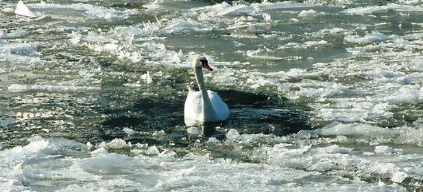 В Затоке из ледяного плена спасены 6 лебедей
