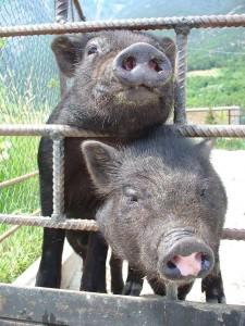 Измаильский район: здесь и фазаны, и вьетнамские свинки