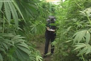 Измаильская милиция напоминает - выращивать мак и коноплю незаконно
