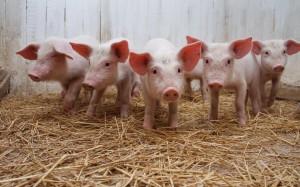 В Бессарабии проверяют свиней на заболевание африканской чумой