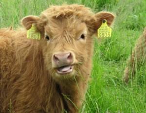 В Саратском районе  увели из сарая... бычка