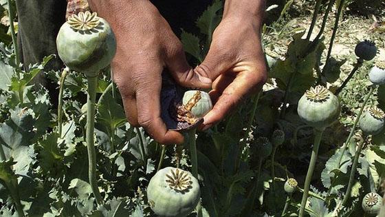Очередная порция мака была изъята Измаильской милицией