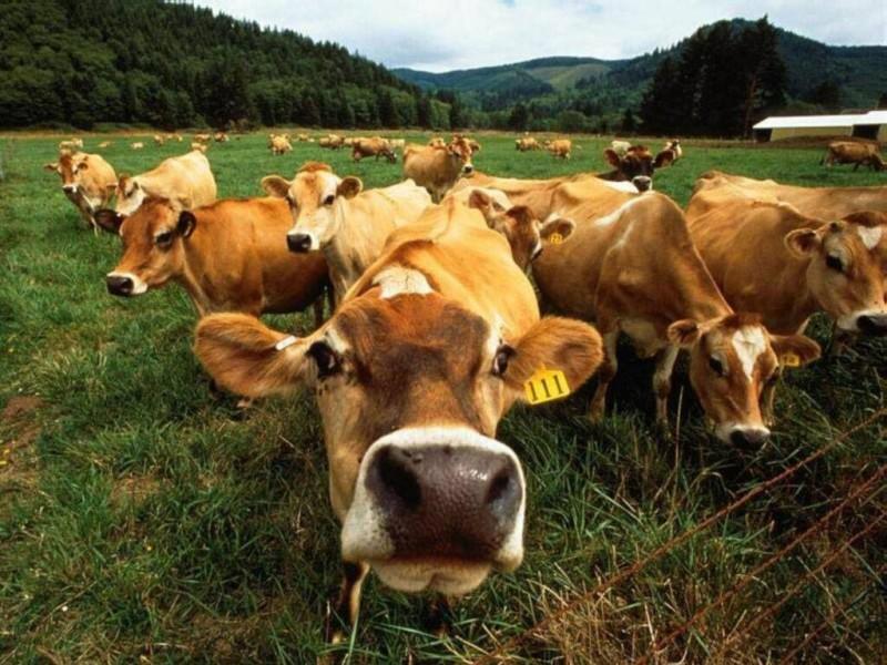 korovu Бессарабия: ГАИ спасла 20 коров от нелегальной перевозки