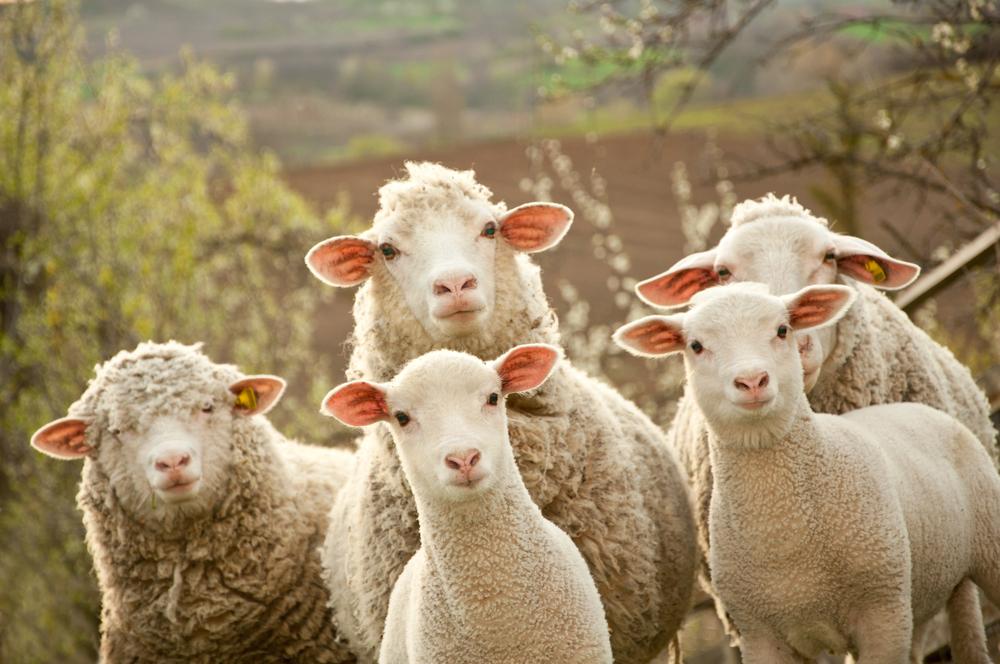 ovci-stado Измаильский район: У мужчины увели стадо овец