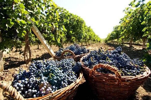 G5D1GcJL7sg В Бессарабии создадут кадастр виноградников