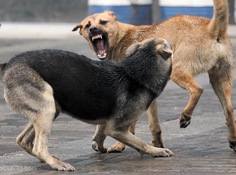brodyachie-sobaki Бродячих собак в Болграде станет меньше