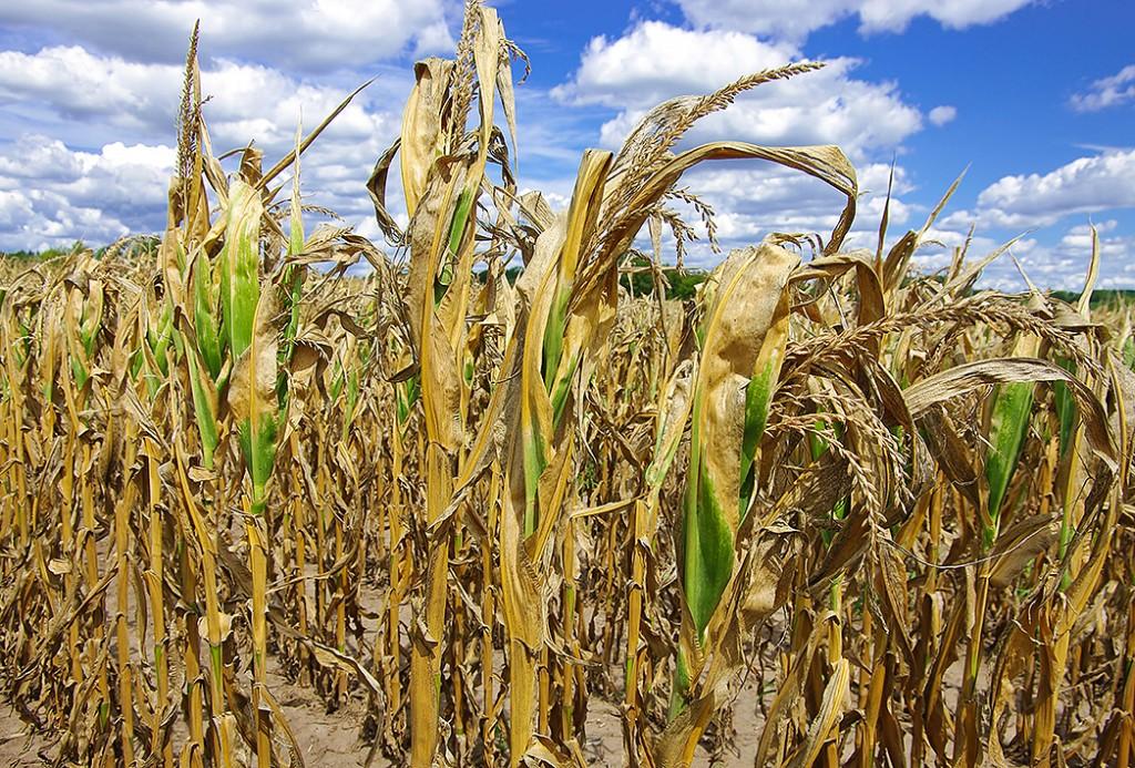 Болградский р-н: засуха угрожает урожаю подсолнечника и кукурузы