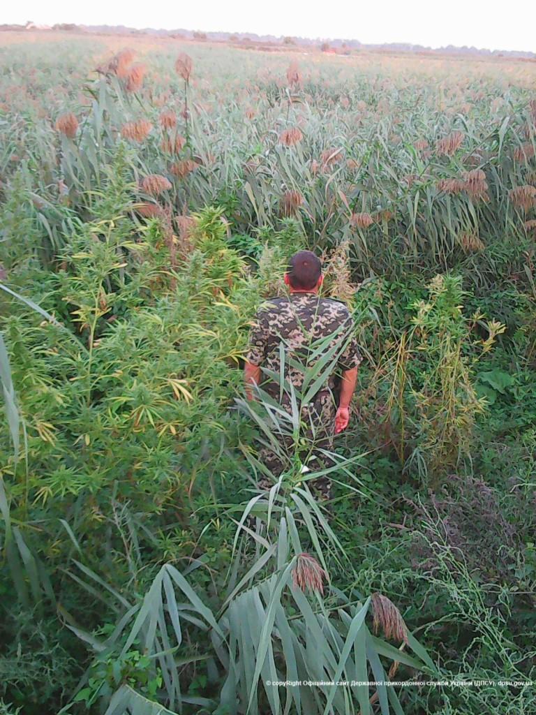 В Измаильском р-не обнаружена крупная плантация конопли (фото)