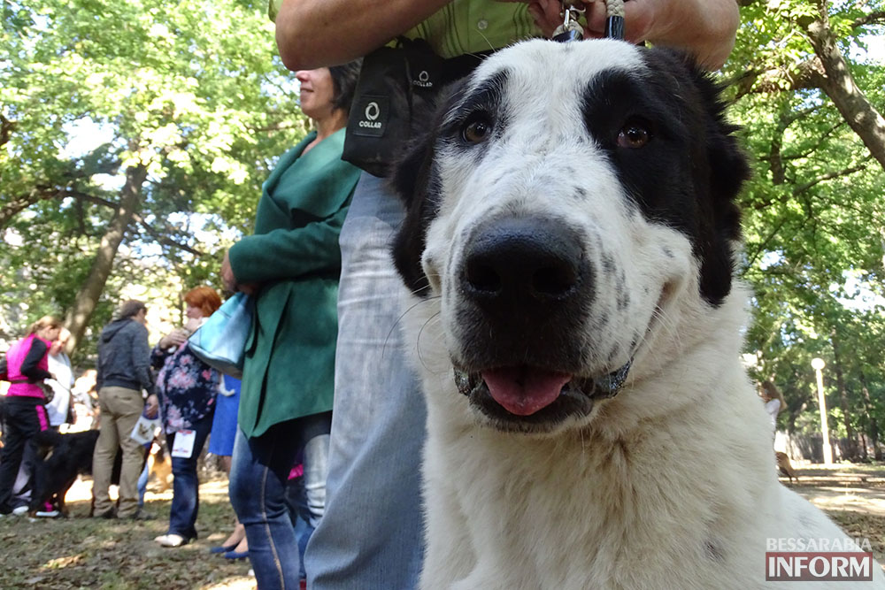 """EZiU6WlNaJ0 Племенной смотр собак в Измаиле - первый бал для начинающих """"четвероногих"""" друзей (фото)"""