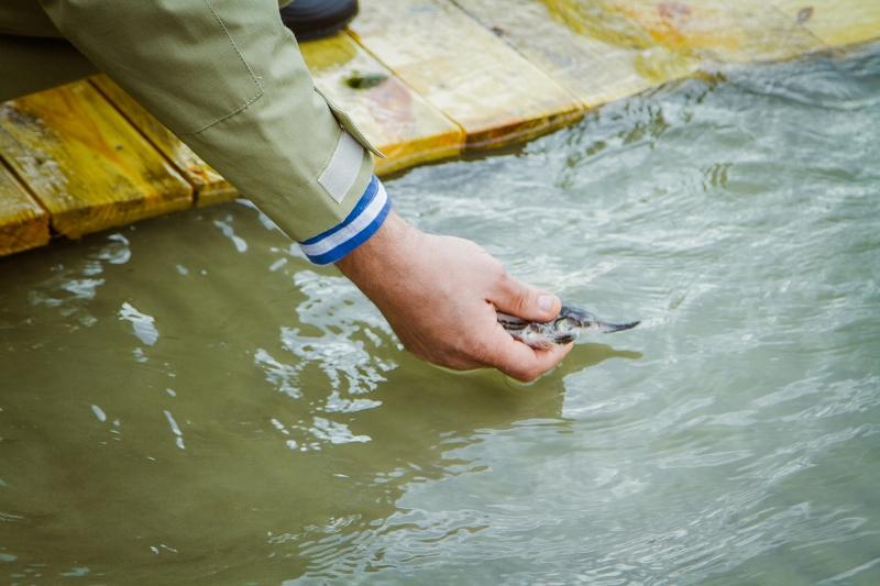 IMG_4922 В Бессарабии в Дунай выпустили 2000 мальков осетровых