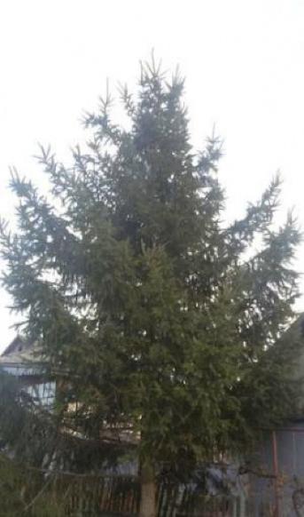 Сколько стоит новогодняя елка в Одесской области