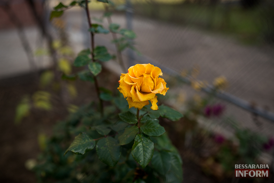 """SME_6368 """"Суровая"""" измаильская зима: цветут цветы и распускаются деревья (фоторепортаж)"""