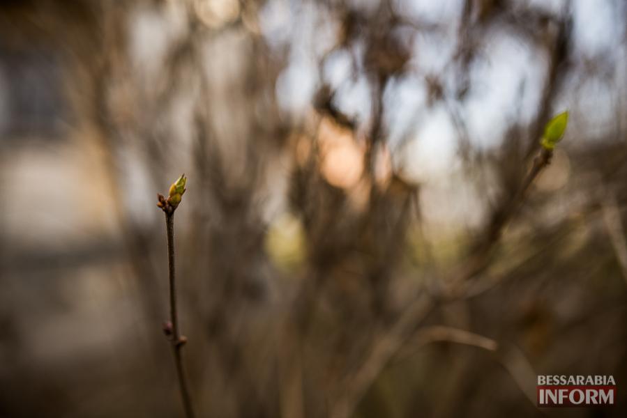 """SME_6393 """"Суровая"""" измаильская зима: цветут цветы и распускаются деревья (фоторепортаж)"""