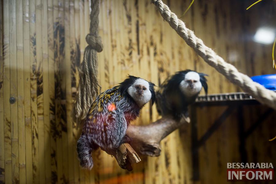 SME_7584 В Измаиле гостят карликовые обезьянки (фоторепортаж)