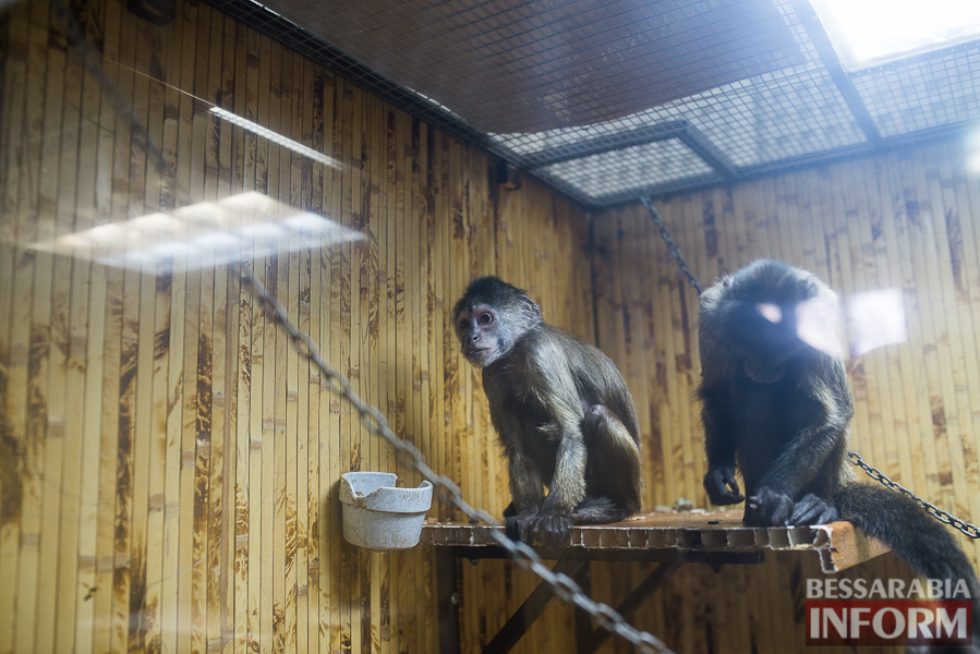 SME_7612 В Измаиле гостят карликовые обезьянки (фоторепортаж)