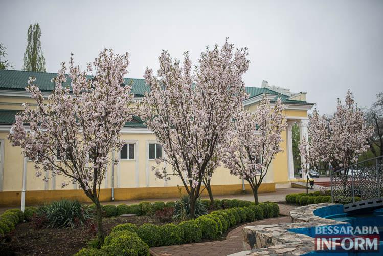 Прекрасное мгновение весны - в Измаиле цветет сакура (фото)