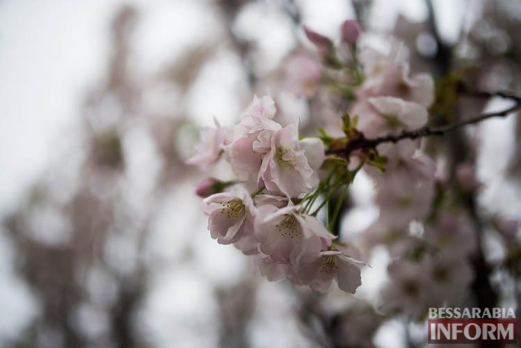 SME_0865 Прекрасное мгновение весны - в Измаиле цветет сакура (фото)