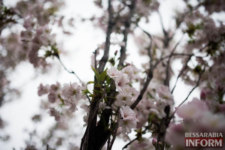 SME_0866 Прекрасное мгновение весны - в Измаиле цветет сакура (фото)