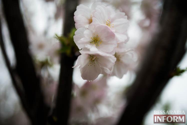 SME_0867 Прекрасное мгновение весны - в Измаиле цветет сакура (фото)