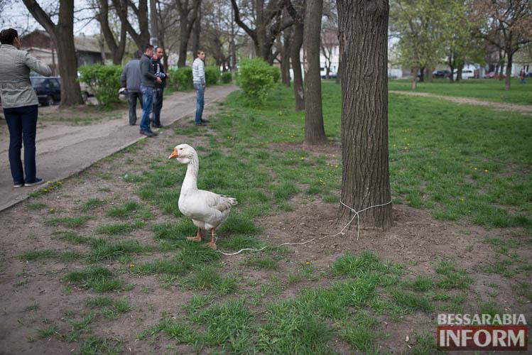 SME_9069 В Измаиле прошла уникальная выставка голубей и домашних животных (ФОТО)