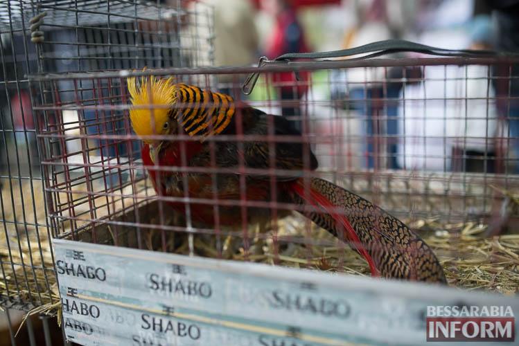 SME_9084 В Измаиле прошла уникальная выставка голубей и домашних животных (ФОТО)