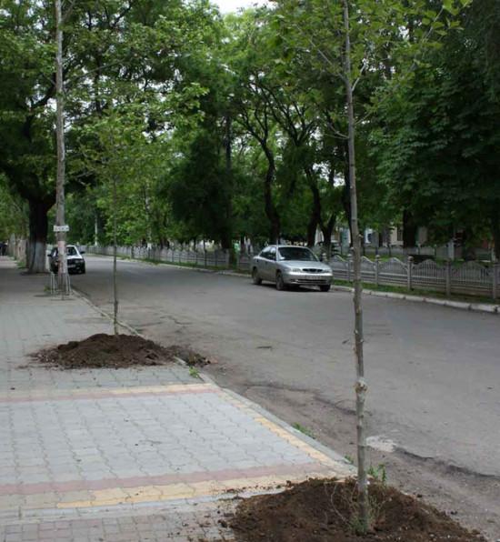 В Болграде вдоль центральной аллеи высадили платаны (фото)