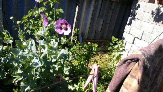 skachannye-fajly-2-2 В Белгород-Днестровском р-не пенсионерка вместо картошки выращивала на огороде мак и коноплю (фото)