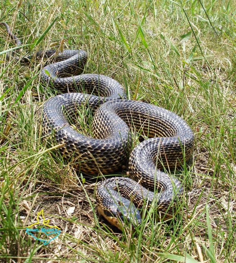 13903176_570860493100047_5956290035626978301_n-1-e1470121926458 В Бессарабии обнаружили одну из самых крупных в Европе змей (ФОТО)