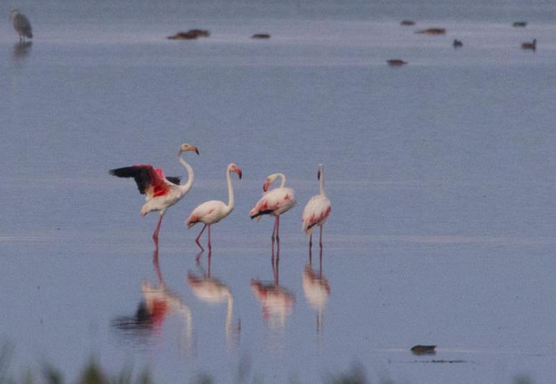 flamingo_apa Редкое явление: в дельте Дуная заметили фламинго (ФОТО)
