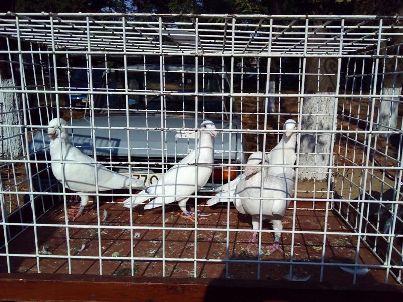 IMG_20160917_100419 Выставка-ярмарка домашних животных в Измаиле: коммерция и зрелище в одном флаконе (ФОТО)