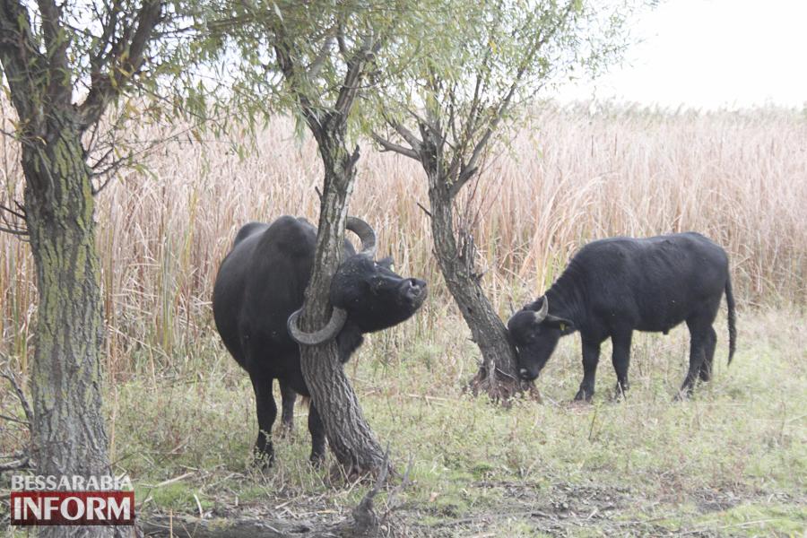 """В Бессарабию завезли """"природных мелиораторов"""" - карпатских водных буйволов (ФОТО)"""