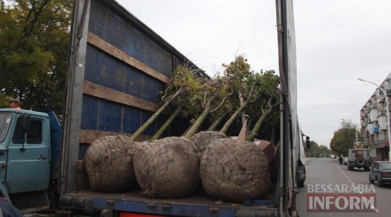 vysadka-derevev-Izmail3 Беспрецедентный проект: в Измаиле высаживают взрослые деревья (ФОТО)