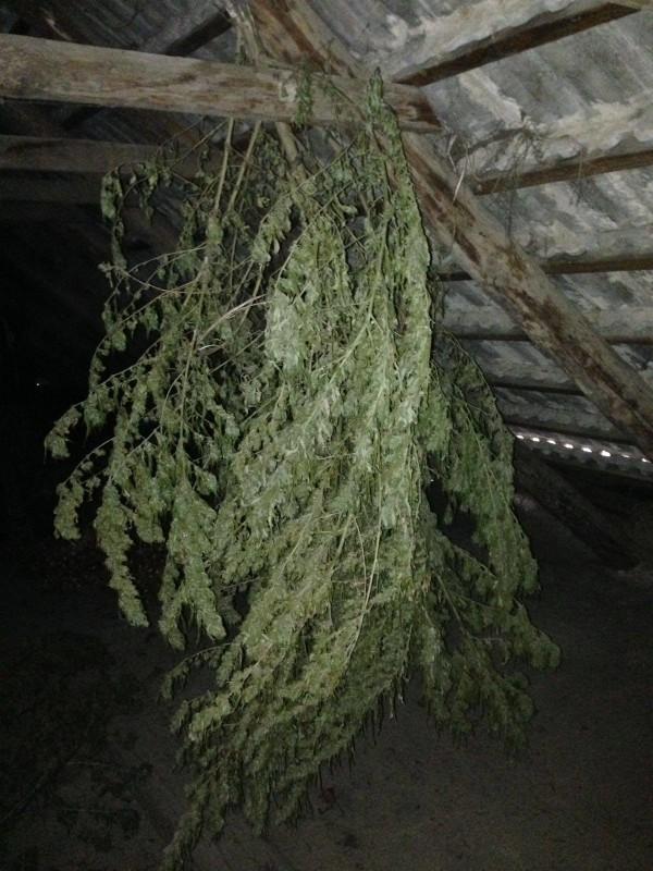 14970884_204819456628766_98165457_o-e1478700298531 В Белгород-Днестровском р-не на чердаке у местного жителя обнаружили 25 кг наркотиков (ФОТО)