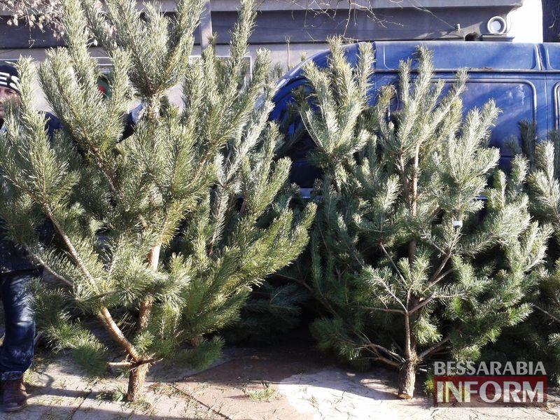 250-grn-sosna Измаильчане не спешат покупать елки и сосны - цены кусаются (фото)