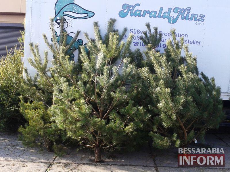300-sosna Измаильчане не спешат покупать елки и сосны - цены кусаются (фото)