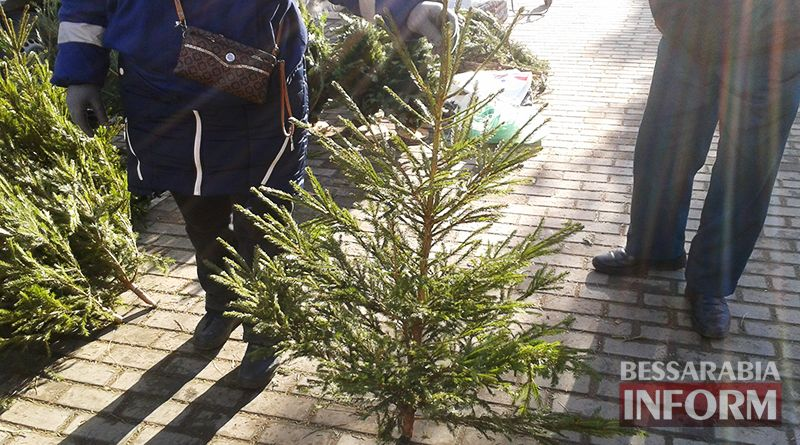 elka-100 Измаильчане не спешат покупать елки и сосны - цены кусаются (фото)