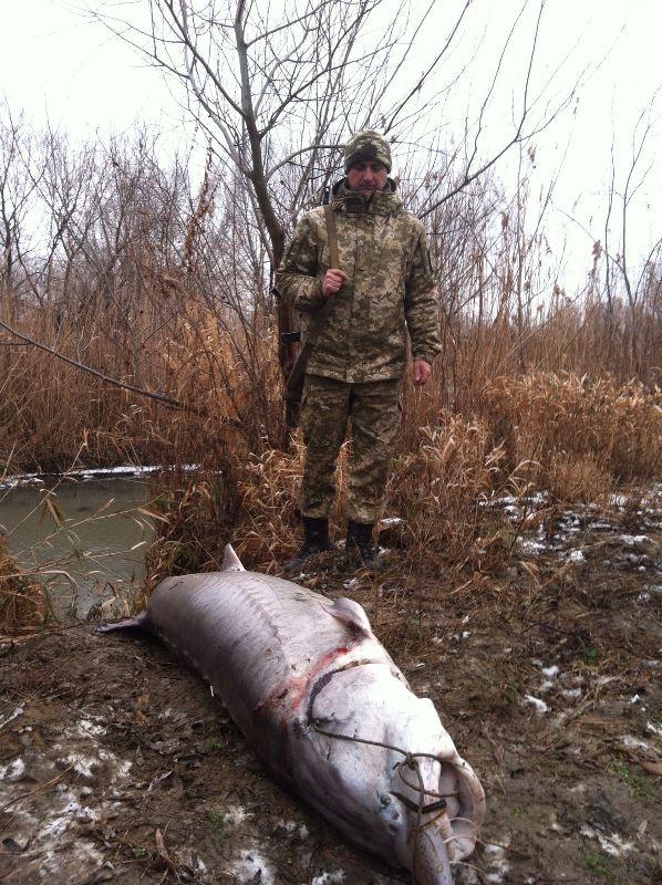 В Вилково нашли гигантскую белугу длиной 1,8 метра и весом 120 килограмм (фото, видео)