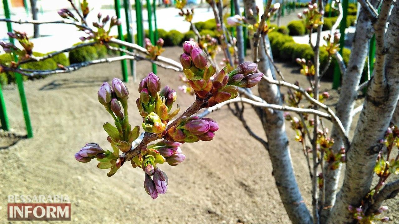 58edec762015f_1GrwtprvL6c В Измаиле начали цвести первые деревья сакуры