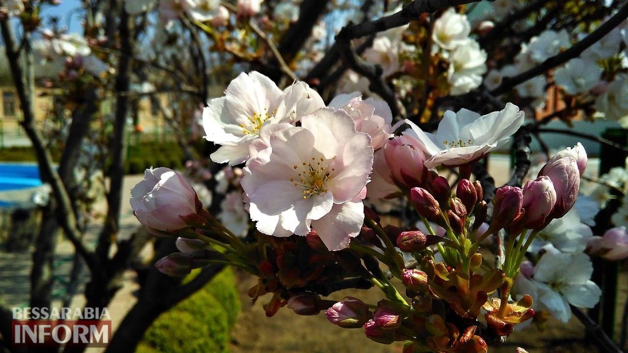 58edec762337d_28njMXIQa9g В Измаиле начали цвести первые деревья сакуры