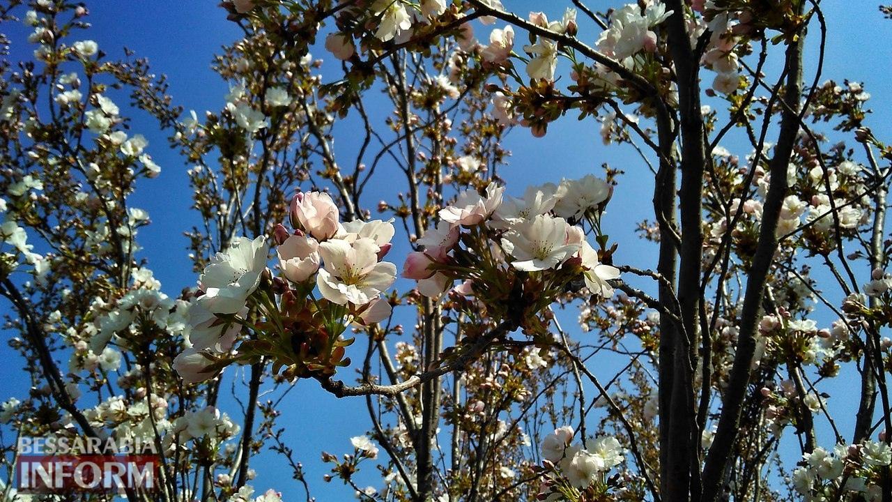 58edec762f55e_y_HPRyEhyqc В Измаиле начали цвести первые деревья сакуры