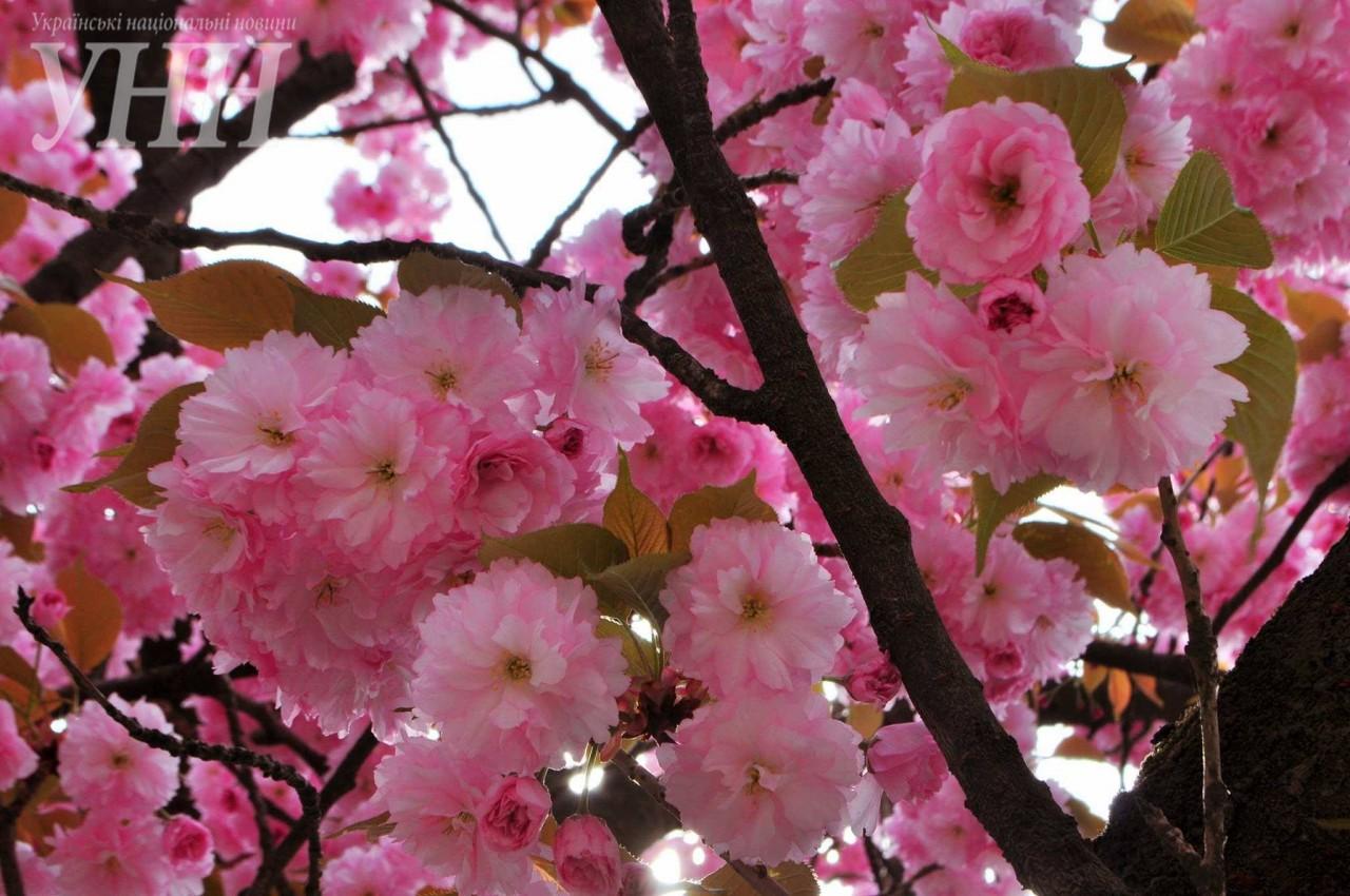 5e45d7548ba9b6f634e77f11bce187f8fbffa8ad Как цветут сакуры в Ужгороде