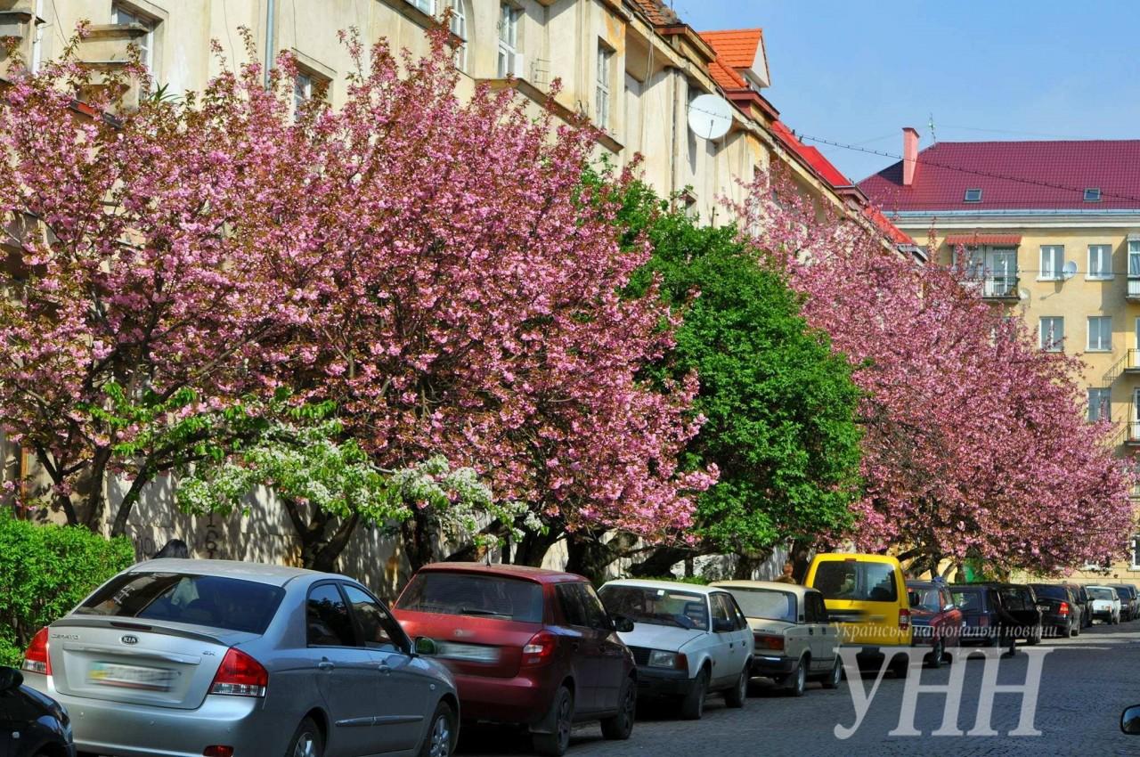 9069ec9193d57275d635d52fa152b53d971f3b98 Как цветут сакуры в Ужгороде