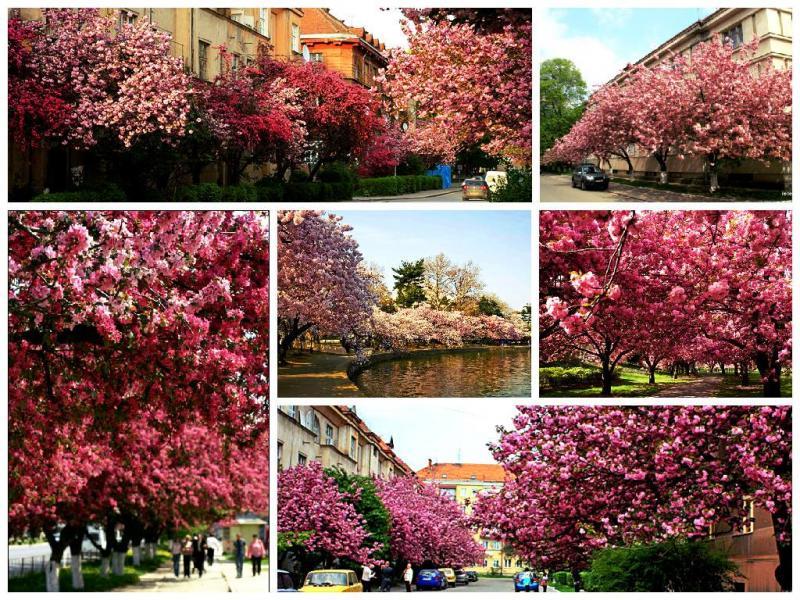 Sakura-Fest В Измаиле начали цвести первые деревья сакуры