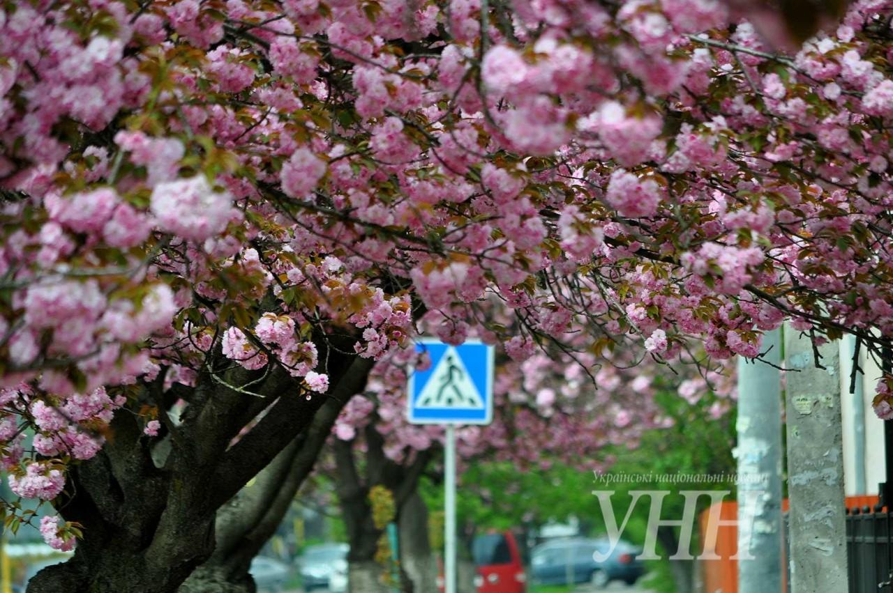 b71b76c230f736ac12e05e837e5062090f9f3403 Как цветут сакуры в Ужгороде